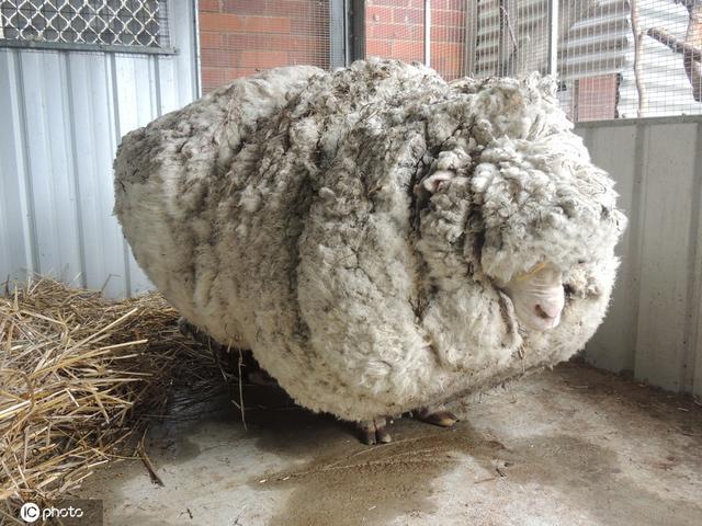 全球毛最重的羊去世:曾一次性剃下40公斤毛破世界纪录