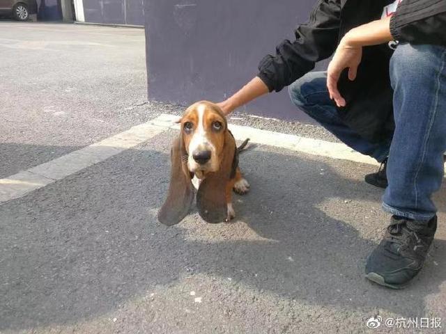 价值4万多的巴吉度狗狗因为五根火腿肠,跟着一对父女回家了