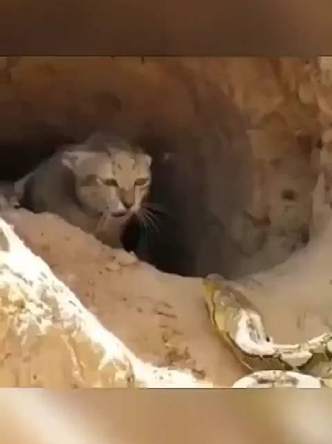 猫妈妈为了保护孩子勇斗巨蟒,看的快要呼吸不过来了,这就是母爱