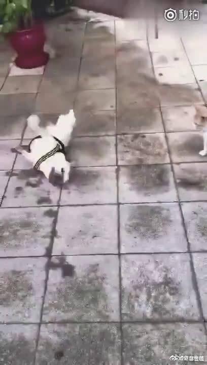 狗狗遇见只橘猫,顺便碰了个瓷,这个演技我给满分