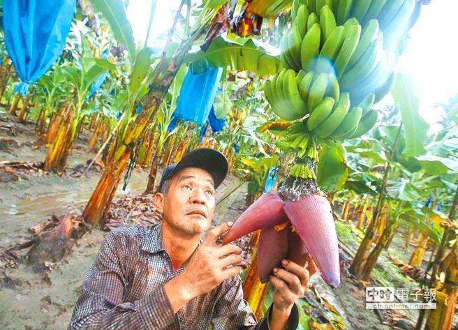 每公斤1元的香蕉是喂猪的?台蕉农:徐国勇该下