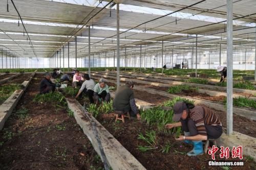 资料图:丹寨县兴仁镇苗族妇女在白芨种植大棚内移栽幼苗。 中新社记者 贺俊怡 摄