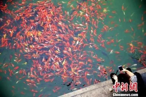 资料图:山东济南五龙潭中的锦鲤。梁犇 摄
