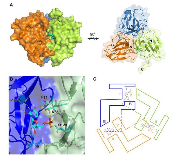 ASFV E165R与dUMP的复合物结构 图自中科院网站
