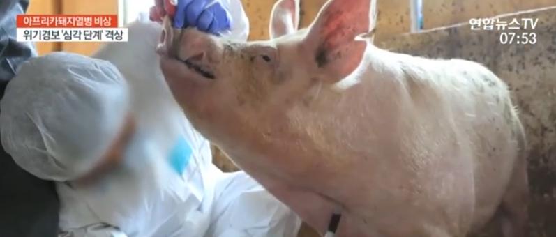 韩国政府检疫死猪 视频截图
