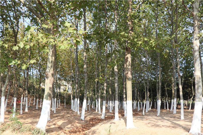 """抵御低温伤害  为树木""""涂白""""换新装"""