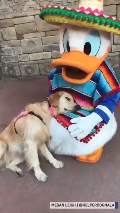 金毛Nana是一只专门治愈自闭症的服务犬