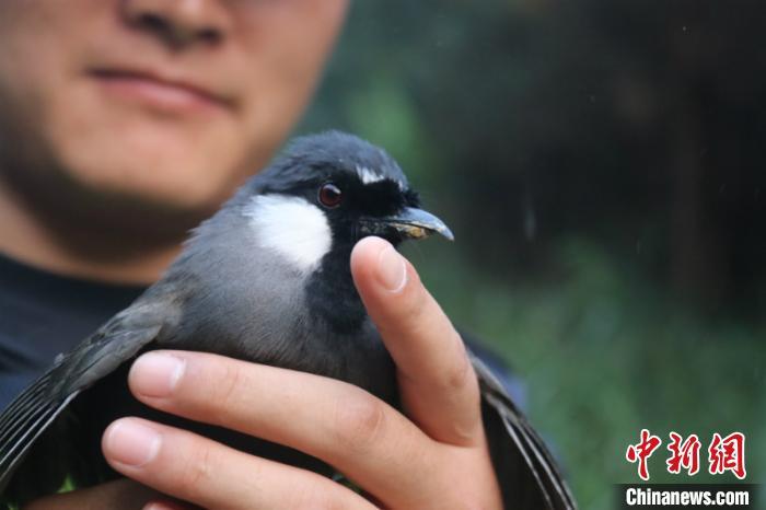 [热点]广西崇左警方边境查获野生鸟类1200只全部放生自然