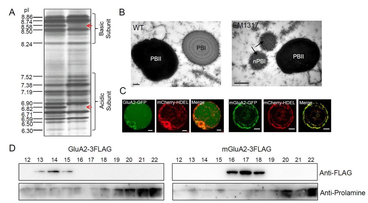 植物所等发现影响水稻谷蛋白在内质网聚集的保守基序