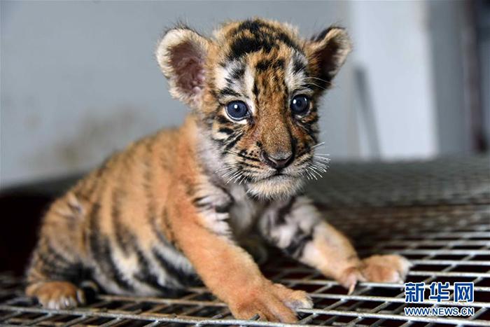 在位于哈尔滨市的黑龙江东北虎林园育婴室,一只小虎在等待吃奶(7月17图片
