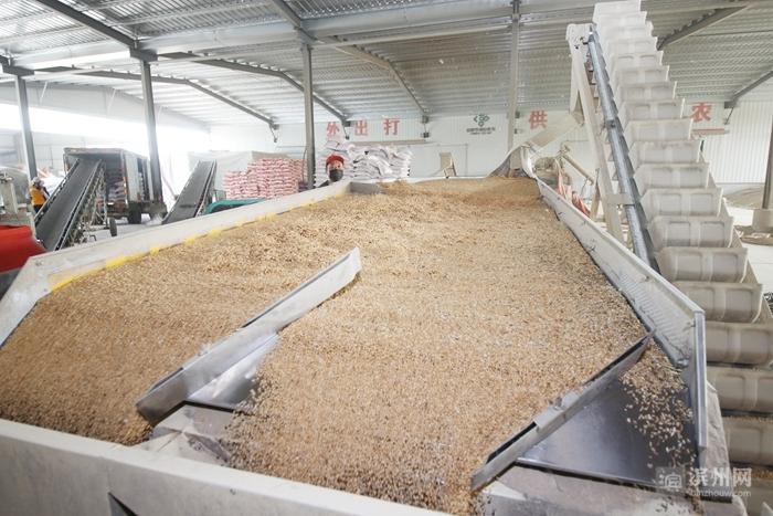无棣一农民合作社成两省麦种直供商