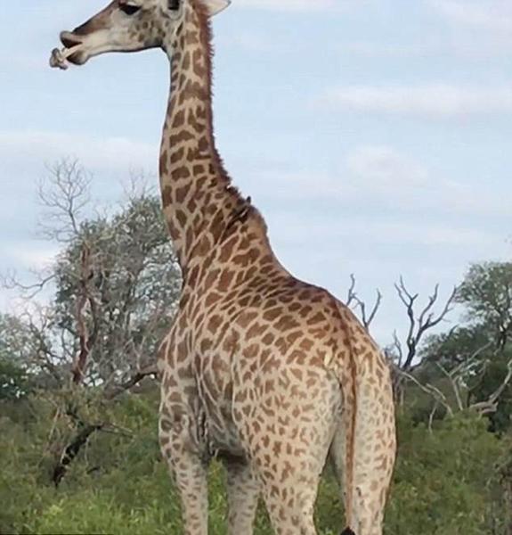 罕见!南非长颈鹿啃骨头惊呆拍摄者
