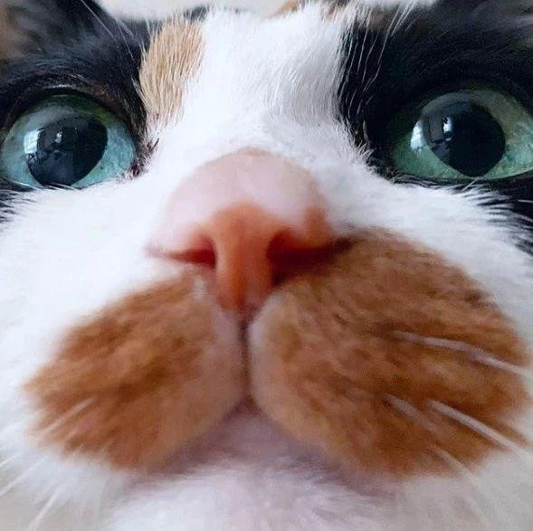 这猫因嘴边有块橘色的色块,让人看起来好像偷吃没擦嘴!