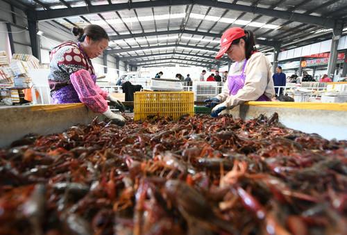 5月8日,湖北省潛江市後湖管理區婦女在該市小龍蝦交易中心分揀小龍蝦。(新華社)