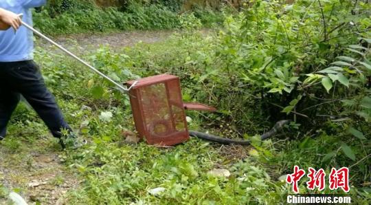 连续暴雨致蛇类野外觅食难 3米长眼镜王蛇闯入猪圈