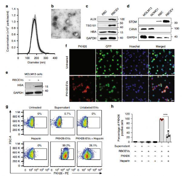 evs与哺乳动物细胞的天然生物相容性表明它可以克服大多数细胞屏障和