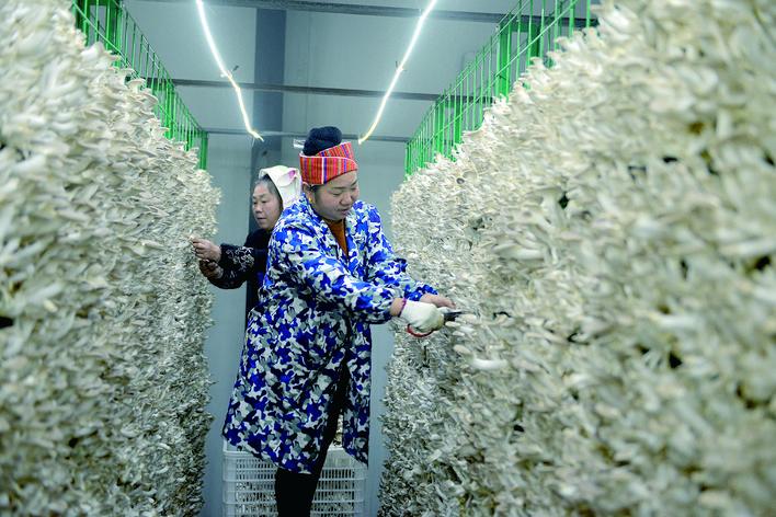 剑河县以食用菌产业带动农民就业增收