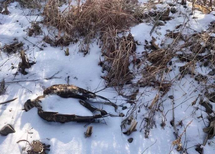 保护动物大鵟鸟放归后被毒死,山坡发现上百处投毒点图片