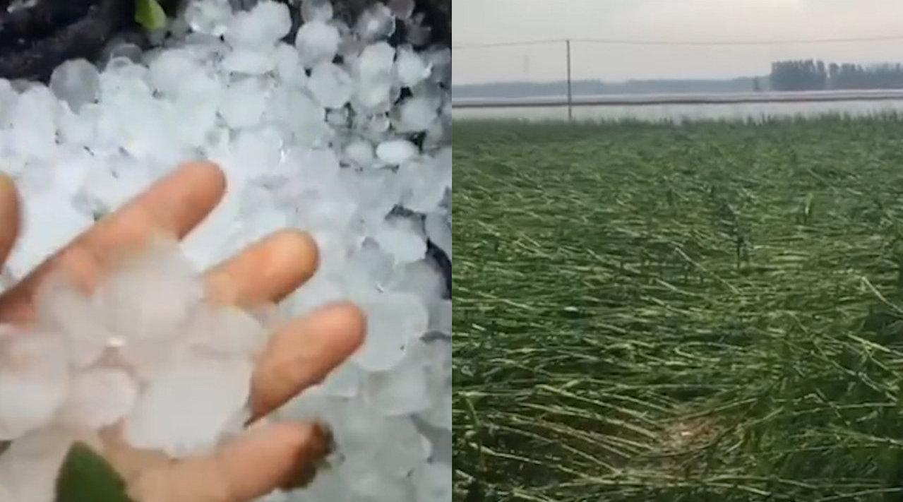 可怕!山东多地遭遇冰雹致庄稼倒地,农民绝望大喊:全完了