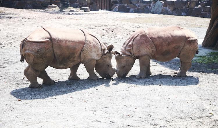 """百余年后,""""盔甲勇士""""亚洲独角犀牛首次在中国公开露面"""