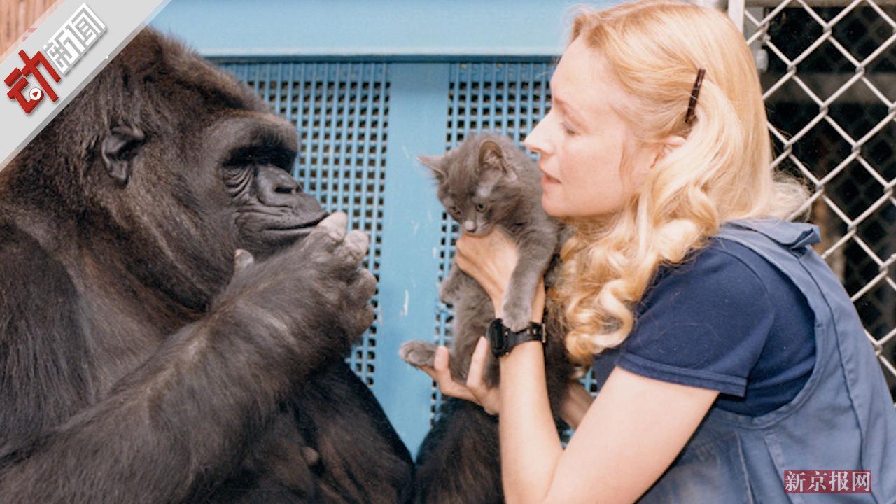 46岁大猩猩可可在美去世 能听懂2000多单词能看懂画册