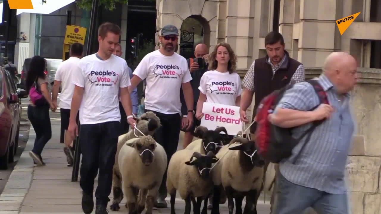 """英国民间组织""""人民投票""""的抗议者周四将一群羊赶到了伦敦市中心"""