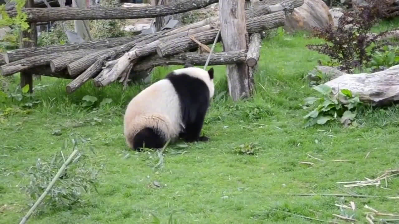 哈哈哈简直就是现实版功夫熊猫啊,这功夫看起来很能打呢