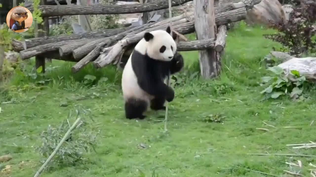 原来电影里的功夫熊猫是真的。。。[摊手]