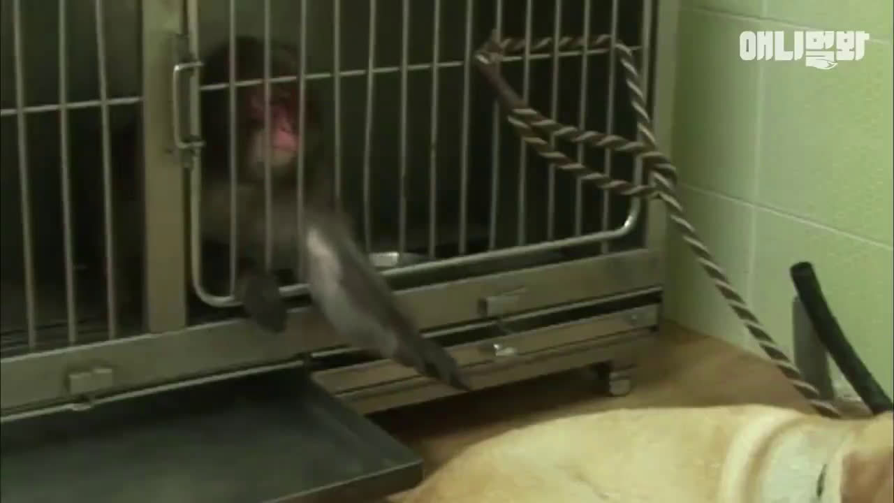 小猴子在遭遇了同类的殴打和霸凌后,几乎高位截瘫