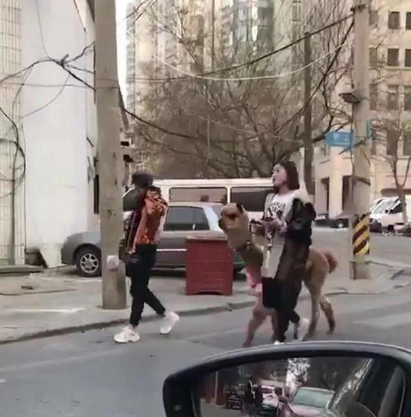 姑娘牵着羊驼溜达 图片来自网络