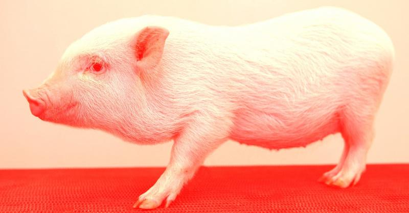 """猪器官移植:""""二师兄""""会成为人类的救世主吗?"""