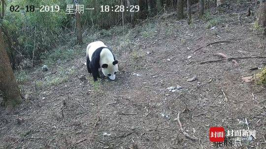 """黑龙江大兴安岭地下发现罕见22斤""""太岁"""""""