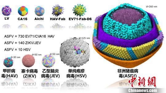 研究团队解析了四类三十余种全病毒原子分辨率的结构,从结构比较中可以看到非洲猪瘟病毒是一个十分巨大、复杂的病原体。研究团队 供图