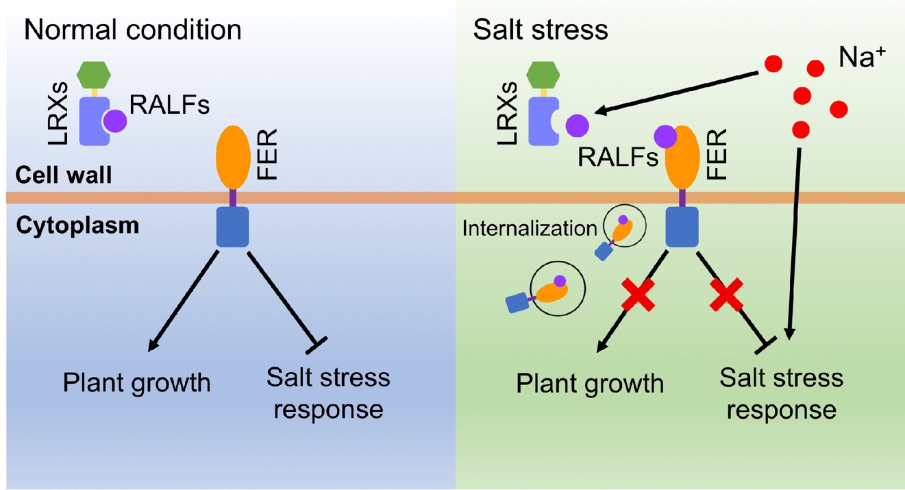 研究揭示细胞壁蛋白调控植物耐盐的新机制