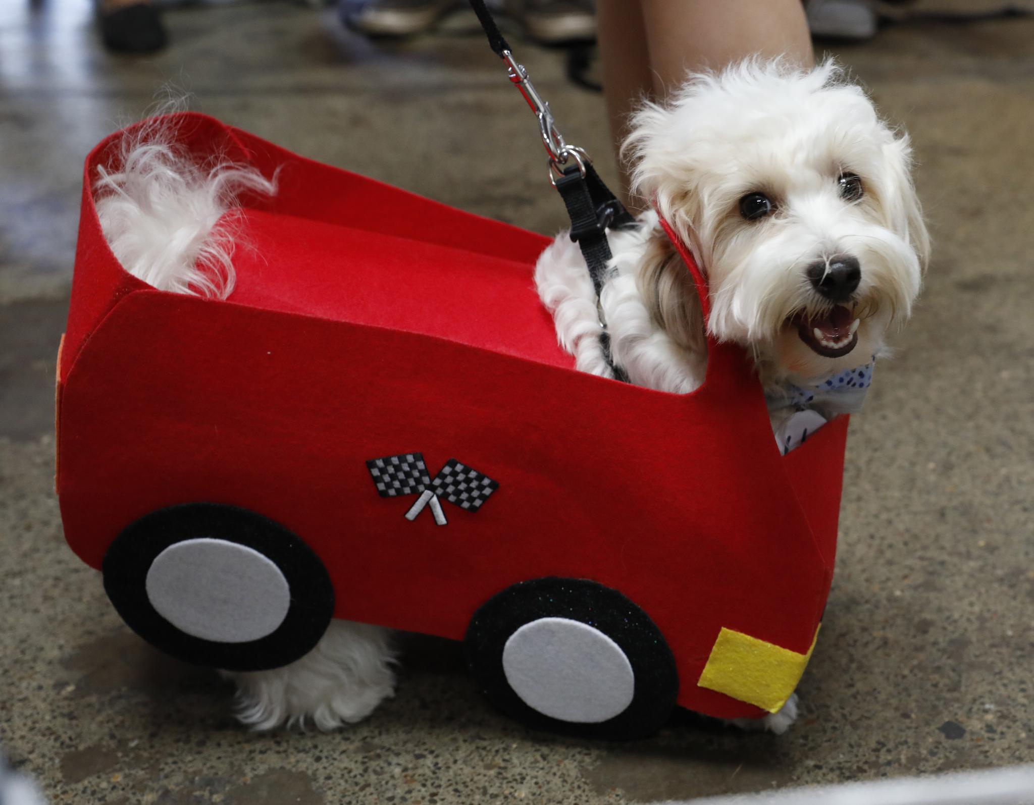 旧金山狗狗着装和赛跑比赛