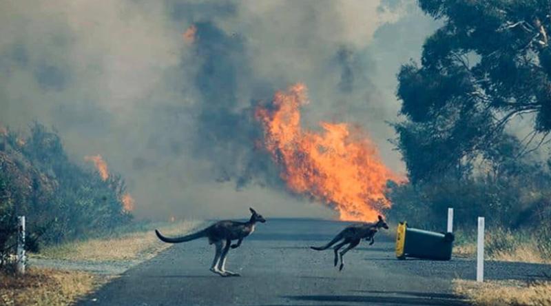 大火来袭,当地的袋鼠无处可躲。(图源:《纽约时报》)