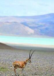 藏羚羊在羌塘国家级自然保护区内漫步。