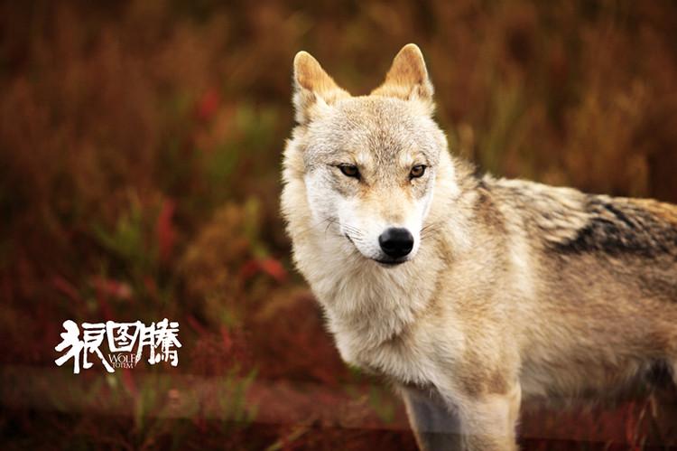 《狼图腾2》已获准拍摄,草原变为荒漠,人与狼面临生存危机
