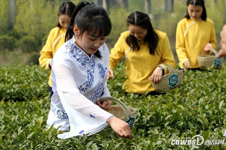 陕西春茶陆续进入采摘期 明前汉中仙毫一斤千元左右