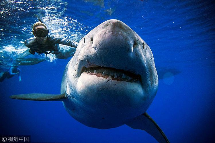 眼界| 与鲨共舞 巨型大白鲨