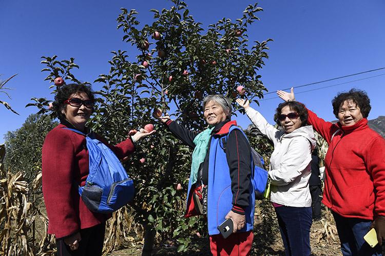 万亩红富士苹果成熟 密云新城子采摘季启动