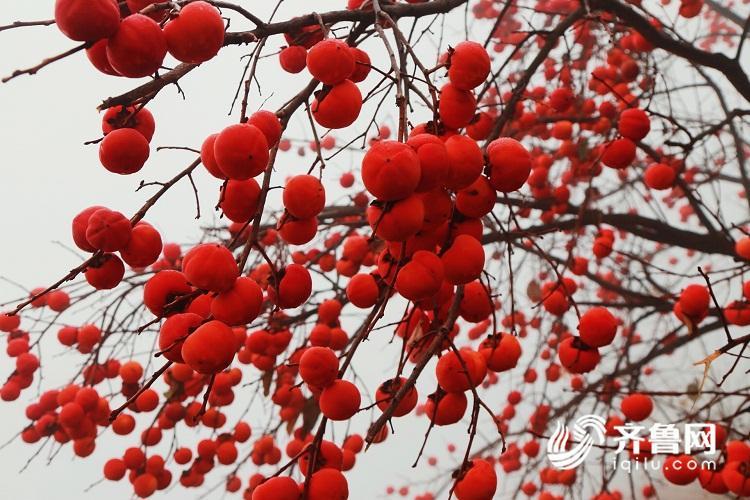 这就是山东 济南九顶塔柿子树上有风景 这份甜蜜请接收