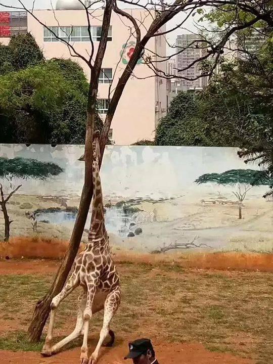 """长颈鹿""""海荣""""不小心将头卡在一棵大树的树杈内。"""