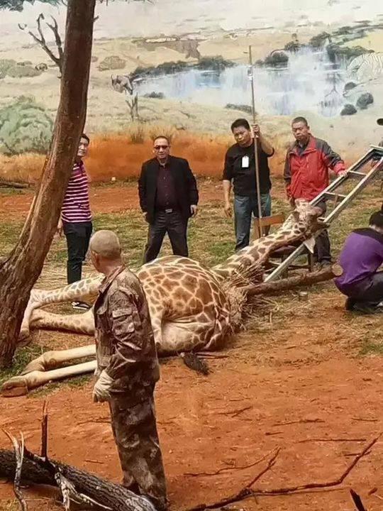 """园方工作人员将长颈鹿""""海荣""""解救下来。 @春城晚报 图"""