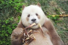 大熊猫也可以是彩色的