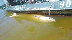 渔民在黑龙江内捕捞到鲟鳇鱼。 本文图片 新晚报