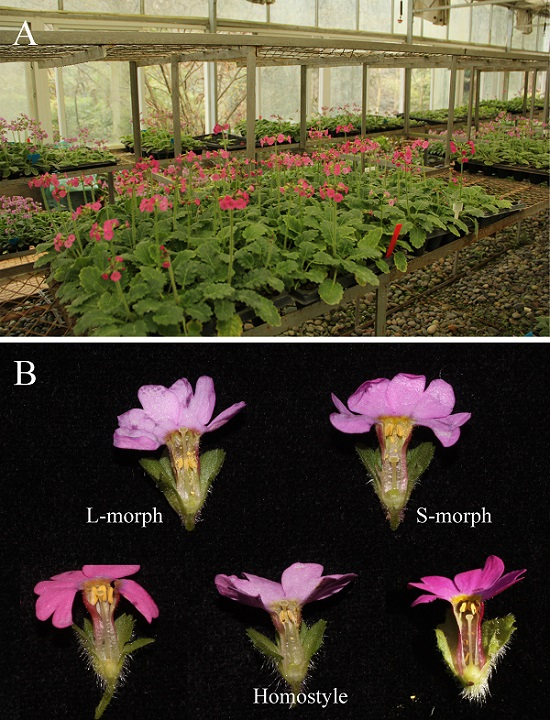 华南植物园在二型花柱和同型花柱遗传基础研究中取得进展
