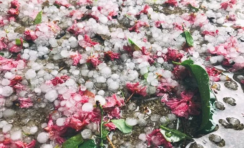 一阵冰雹,繁花满地,昆明惊艳了全国