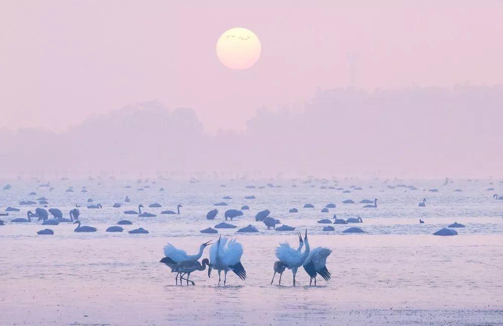 """""""省鸟""""白鹤飞抵鄱阳湖!九江四个观鸟点发布 C位以待"""