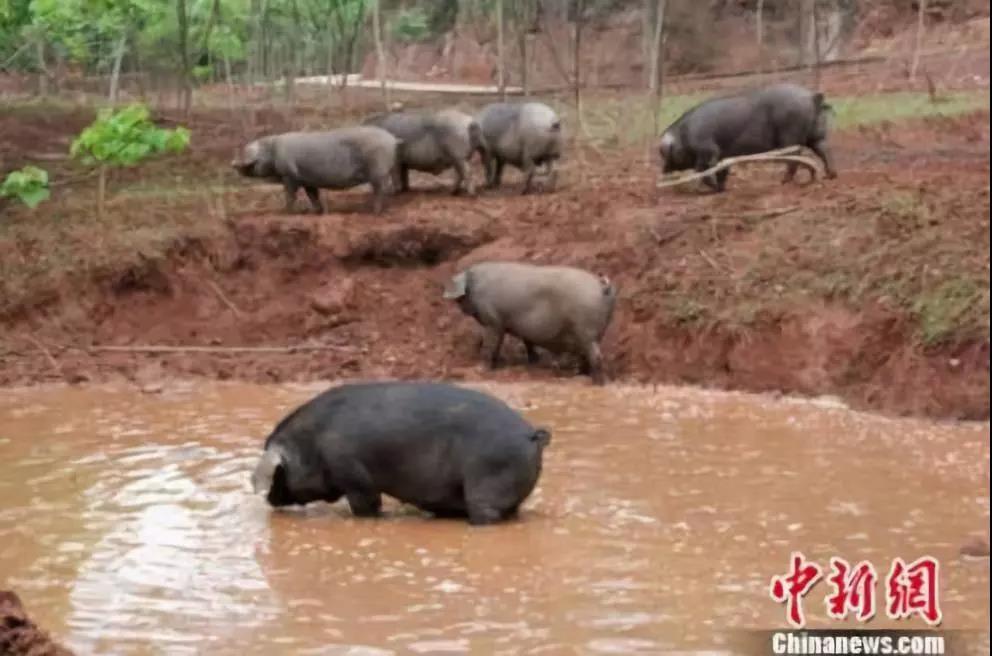 2020年四川省将新增出栏生猪1000万头!